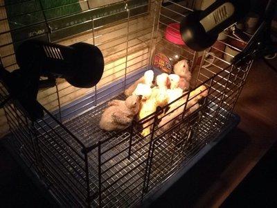 FX 寵物鸚鵡 蜜袋鼯 鳥類 刺蝟 兔貂 小動物陶瓷保溫燈 廣口保暖燈 加熱燈罩 125V(不含燈泡)每件299元