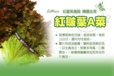【振華育苗】紅皺葉萵苣種子 Lettuce 紅皺葉A菜 紅皺妹 韓國烤肉專用生菜