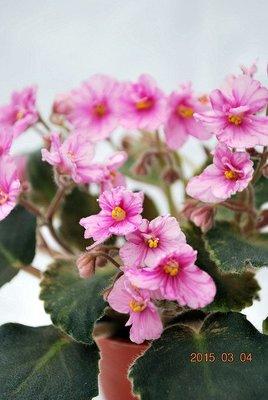 堤緣花語陶-淨化室內空氣植物-非洲紫羅蘭 Rob's Ooey Gooey