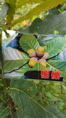 ╭*田尾玫瑰園*╯新品種樹種-(槲櫟)高30cm500元