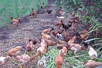 花蓮黃金玉米牧草放山雞 鵝肉