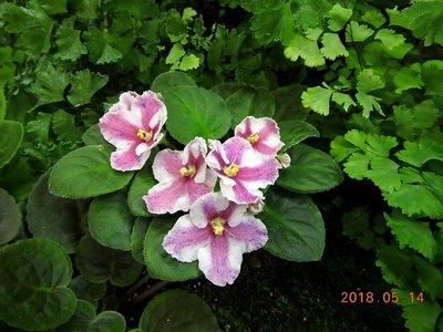 堤緣花語陶-淨化室內空氣植物-非洲紫羅蘭 'Tiyuan's Twelfth lunar month'臘月 [台灣育種]