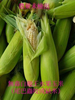 無毒北海道水果玉米 10斤免運費賣370元(尾巴蟲咬或缺米)  #可以生吃品種 #宅經濟 #玉米 #雲林縣慧軒農場