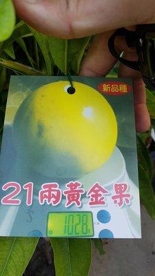 李家果苗 21兩黃金果 黃金果 單價600元
