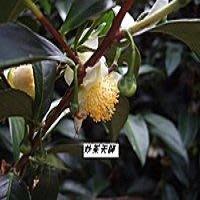 [炒茶天師] 冷泡~日本頂級茶花粹取ㄉ~茶花綠茶~油切 ~給你好身材~自己做每天不到2元喔!