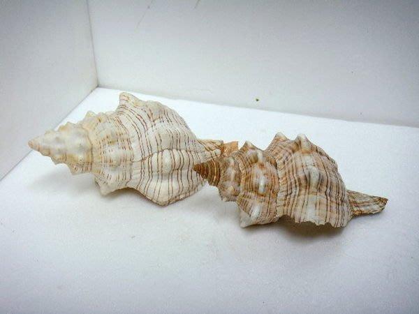 大貝殼 香螺 2個