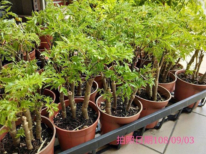 易園園藝- 羽葉福祿桐樹F14(福貴樹/風水樹)室內盆栽小品/盆景高約17公分