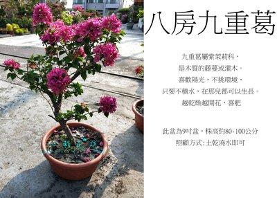 心栽花坊-八房九重葛/九重葛/造型隨機/盆景/開花植物/售價1000特價800