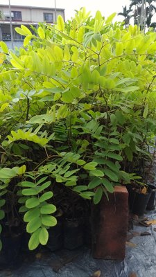 哇沙米園藝#桃紅陣雨樹苗  (花旗木30棵=$1200)高20公分,一箱可裝30棵。