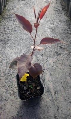 花花世界_水果苗 --早酥紅梨 -- 新品種/4吋盆/高30-50公分/Ts