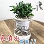 【現貨】【小品文化】羅漢松 3吋早安免澆水懶人盆栽 簡單好種植 觀葉植物 室內植物 自動吸水 創意花盆 居家辦公盆花