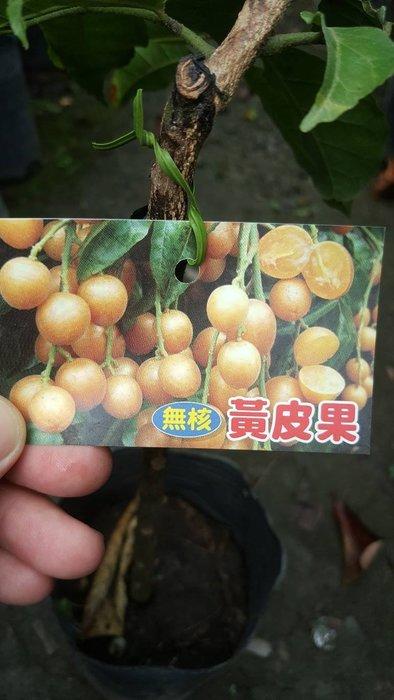 ╭*田尾玫瑰園*╯優良水果苗--(無核黃皮果)50cm550元