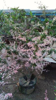 斑葉金龜樹