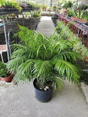 李家果苗 美人蕨 8吋盆 高度約60公分 單價400元