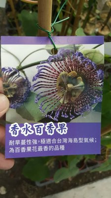 ╭*田尾玫瑰園*╯新品種水果苗-(香水百香果)200元