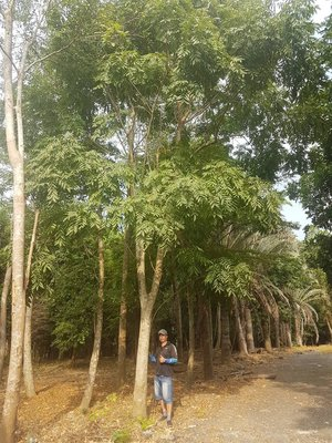 無患子樹 米俓約20高度約8米 櫸木楓樹茄苳肖楠肉桂光臘落羽松九芎榔榆