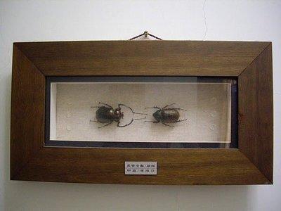 甲蟲昆蟲標本 2 組