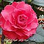 台中茶花- 情人節- (原棵茶花)- R45(請自取)...