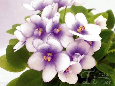 堤緣花語陶-淨化室內空氣植物-非洲紫羅蘭 Rob's Penny Ante