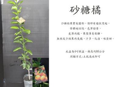 心栽花坊-砂糖橘/沙糖橘/柑橘類/嫁接苗/水果苗/售價180特價150