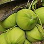 (大苗)海南【矮種香椰】矮種椰子|盆栽苗木專賣|台灣平地可種植|皇家果樹園