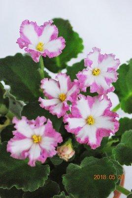 堤緣花語陶-淨化室內空氣植物-'Tiyuan's capricious lady' 千面女郎[台灣育種] 3月新花上市!