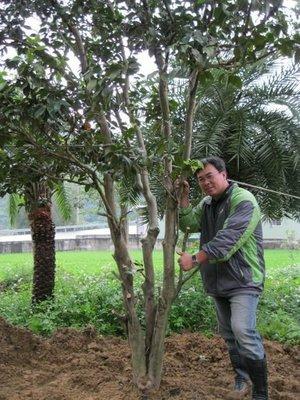 (青山園藝)茶花 原生種 高度約4~5米 樹齡60年  桂花油杉黑松真柏雪松含笑梔子花紫檀