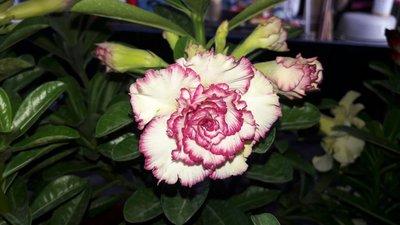 多肉植物-沙玫 (( 沙漠玫瑰   馨香))  -3吋盆-花色多種艷麗好種-花花世界玫瑰園