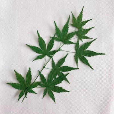 楓葉 押花畫兒童手工diy製作植物標本天然楓葉壓花賀卡書簽乾花,一份如圖