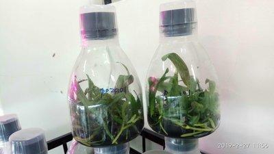 永安蘭園 蘭花 瓶苗 菲律賓 學名P.philippinense x sib (菲律賓蝴蝶蘭)瓶苗 P02a01