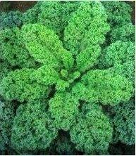 【媽咪蔬果園】、羽衣甘藍 ※(種子全面直購價每包12元.購買商品滿300元免掛號運費)