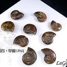 ☆寶峻晶石館☆單個139元~鸚鵡螺化石 迷你斑彩螺(Ammolite) 古生物動物化石 特色禮品