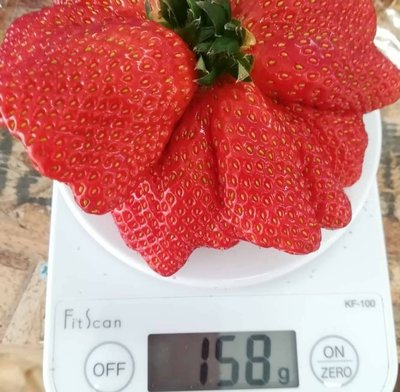 蘋果草莓  香氣濃郁 色澤艷紅  強勢品種  二期花單果超過150g (推廣價最低一苗不到30元!)