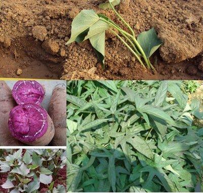 台農73號紫芋地瓜苗x10支