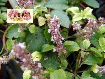 ╭*田尾玫瑰園*╯藥用植物-(仙草)-3吋盆缺貨.5吋盆100元