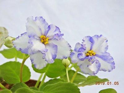 堤緣花語陶-淨化室內空氣植物-非洲紫羅蘭 'Tiyuan's Ice Ripples ' 冰灡 [台灣育種]