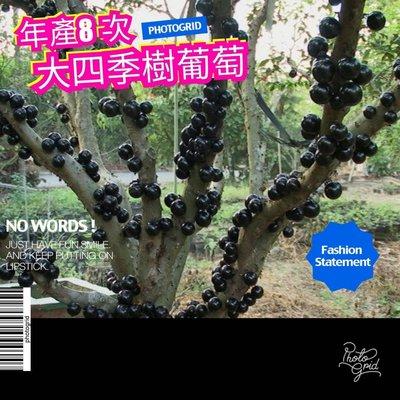 正開花結果中【四季樹葡萄】此品種一年生8次、接近全年結果、可盆栽開花結果、可地植