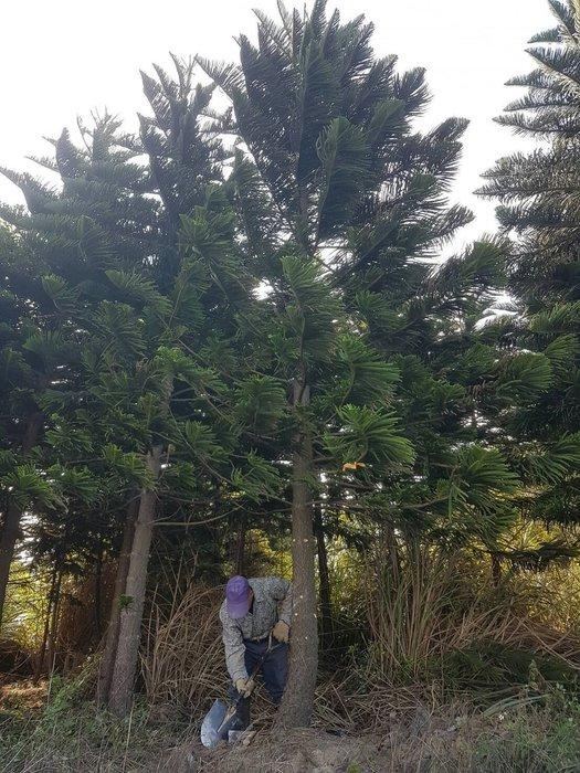 (青山園藝)  小葉南洋杉  米徑約15~25cm 抗風耐旱又好種