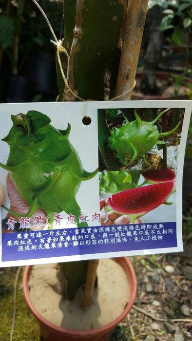 ╭*田尾玫瑰園*╯新品種水果苗-(青龍果)高30cm500元/株