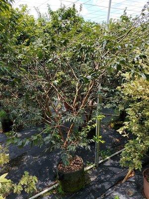 李家果苗 大果 福岡樹葡萄 大樹 掛花已經會生 單價4000元 高度160公分 只能外送