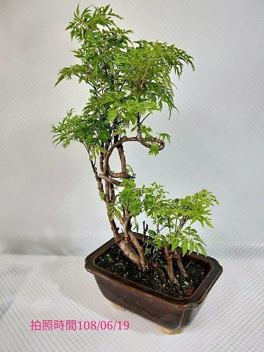 易園園藝- 羽葉福祿桐樹F7(福貴樹/風水樹)室內盆栽小品/盆景高約42公分