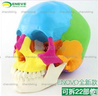 [MEDI-A_00804] 醫學用人體頭骨模型微整形美容教學頭顱骨可拆22部件