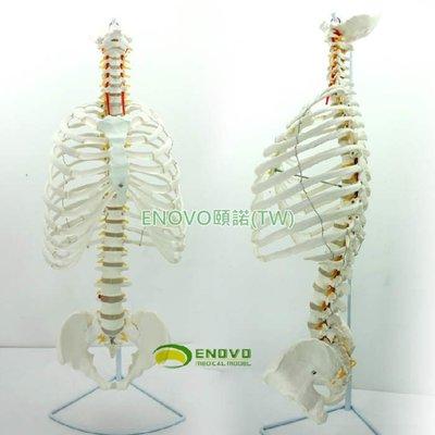 (ENOVO-271) 醫學人體脊柱模型脊椎骨盆整骨胸骨肋骨胸腔骼模骨架型
