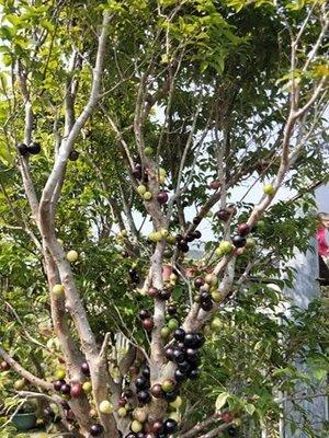 樹苗.灌木~樹葡萄~1呎2美植袋/高:含盆180-200公分以上/米徑:5公分以上~ 花精靈植物的家