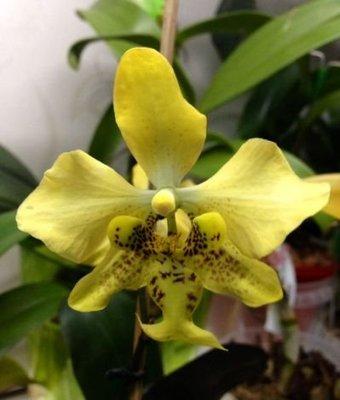 蝴蝶蘭原生種實生苗:P.stuartiana var yellow x sib