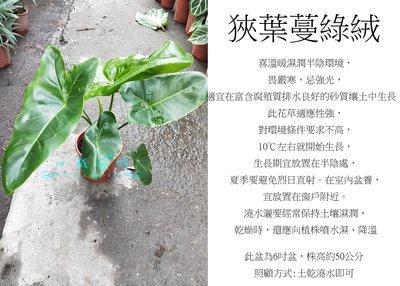 心栽花坊-狹葉蔓綠絨/5吋盆/綠化植物/室內植物/觀葉植物/售價800特價700