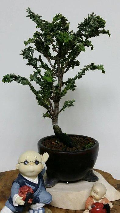 台中瘋小品-小品盆栽-日本石化檜-03-特價