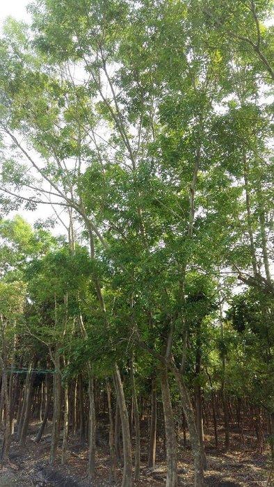 ╭*田尾玫瑰園*╯庭園景觀用樹-光臘樹(白雞油)土球米徑12cm8000元