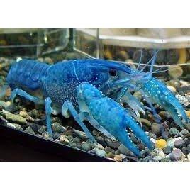螯蝦 8-12公分 螯蝦 米蝦(選項:藍螯蝦)