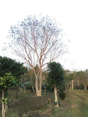 售『九芎樹』樹型優美一級品,紫薇非茄苳、黑松、真柏、樟樹、九芎樹